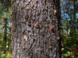 Pine beetle infestation in northwestern Montana