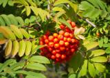 Red berries of Rowan mountain ash at SanSuzEd - IMG_1042