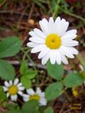 Wildflower - daisy - perhaps Bellis perennis - IMG_0982