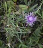 Spotted knapweed flower near a small dump in woods - IMG_1081