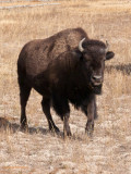Yellowstone bison - young - P1080862