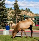 Elk in downtown Estes Park - IMG_2141