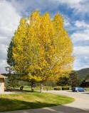 z IMG_2800 Autumn tree in Estes Park
