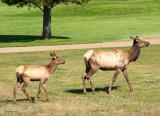 z IMG_1374 Elk - young mother & her calf