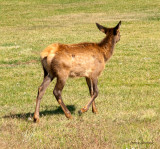 z IMG_1376 Young elk walking