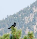 z P1090634 Crow as wildfires haze air quality
