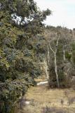 z_MG_0308  wMP small meadow juniper.jpg