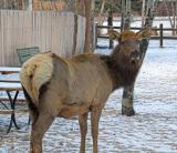 zz_MG_0315 Elk in yard.jpg