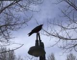 zCRW_0315 Raven on light.jpg