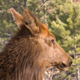 zP1030553 Timid elk looking right by river.jpg