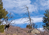 zP1030685 Trees who live with wind in RMNP.jpg