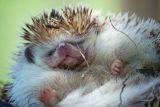 Hedgehog 3.jpg