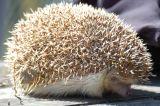 Hedgehog 6