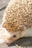 Hedgehog 7