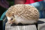Hedgehog 10