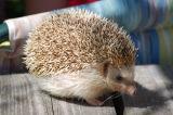 Hedgehog 11