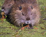 3005a_rodents