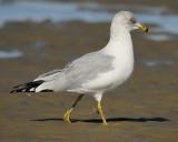 ring-billed gull BRD2771.jpg