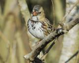 harris's sparrow BRD3543.jpg