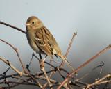 1670c_field_sparrow