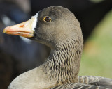 1090d_white_fronted_goose