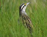 eastern meadowlark BRD6905.jpg