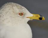 ring-billed gull BRD6546.jpg