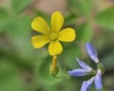 yellow wood sorrel DSC0428.jpg
