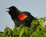 1710a_red_winged_blackbird
