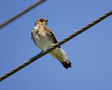 rough-winged_swallow_BRD0575.jpg