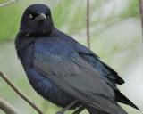 1710e_great_tailed_grackle