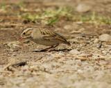 1670u_clay_colored_sparrow