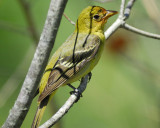 1650c_western_tanager