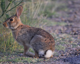 cottontail rabbit BRD6022.jpg