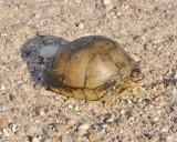 box turtle DSC1242.jpg