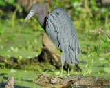 1070e_little_blue_heron