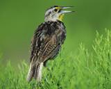 eastern meadowlark BRD9372.jpg