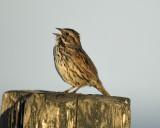 1670i_song_sparrow