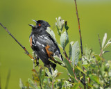 1670z_spotted_towhee