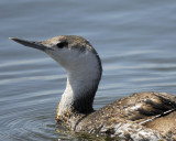 1010j_red_throated_loon
