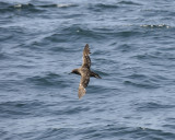 1030d_sooty_shearwater
