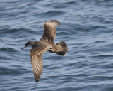 1030c_pink_footed_shearwater