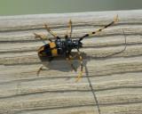 long-jawed longhorn beetle BRD9369.jpg