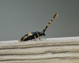 long-jawed longhorn beetle BRD9358.jpg