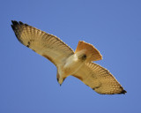 red-tailed hawk BRD2733.jpg