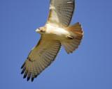 red-tailed hawk BRD2720.jpg