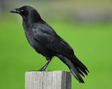 1570b_american_crow