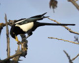 1570h_yellow_billed_magpie
