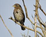 1670o_fox_sparrow