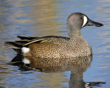 1090m_blue_winged_teal